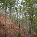 Image of <i>Eucalyptus urophylla</i> S. T. Blake