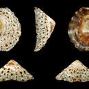 Image of Rustic Limpet