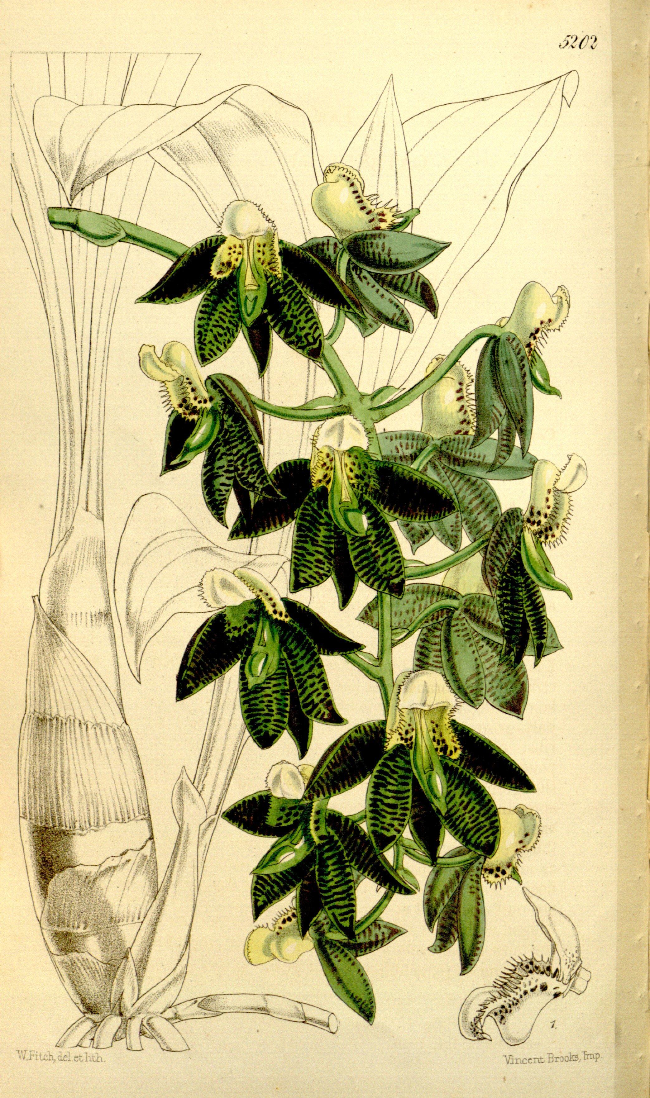 Image of <i>Catasetum atratum</i> Lindl.
