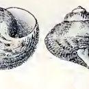 Image of <i>Gibbula benzi</i> (Krauss 1848)