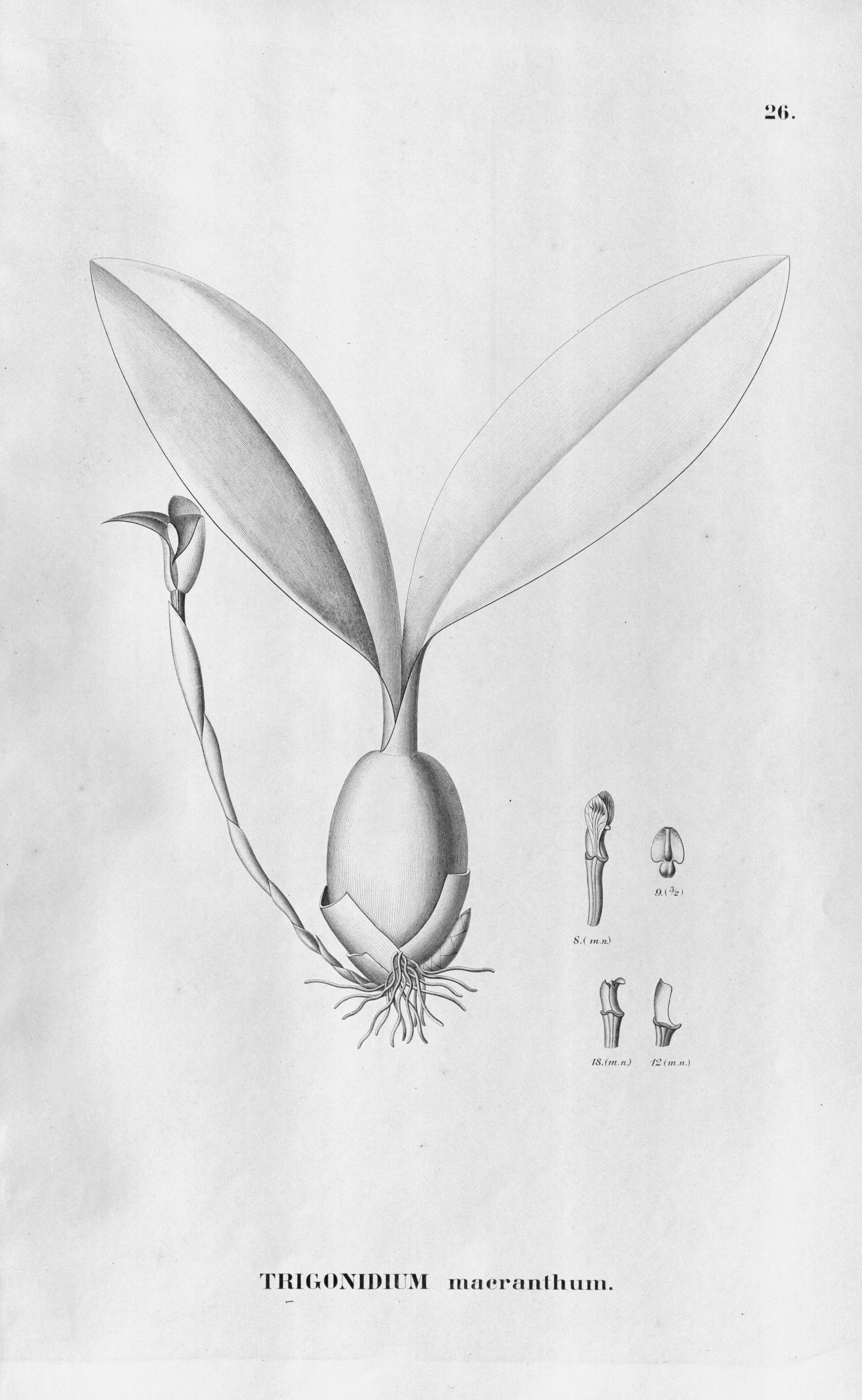 Image of Trigonidium