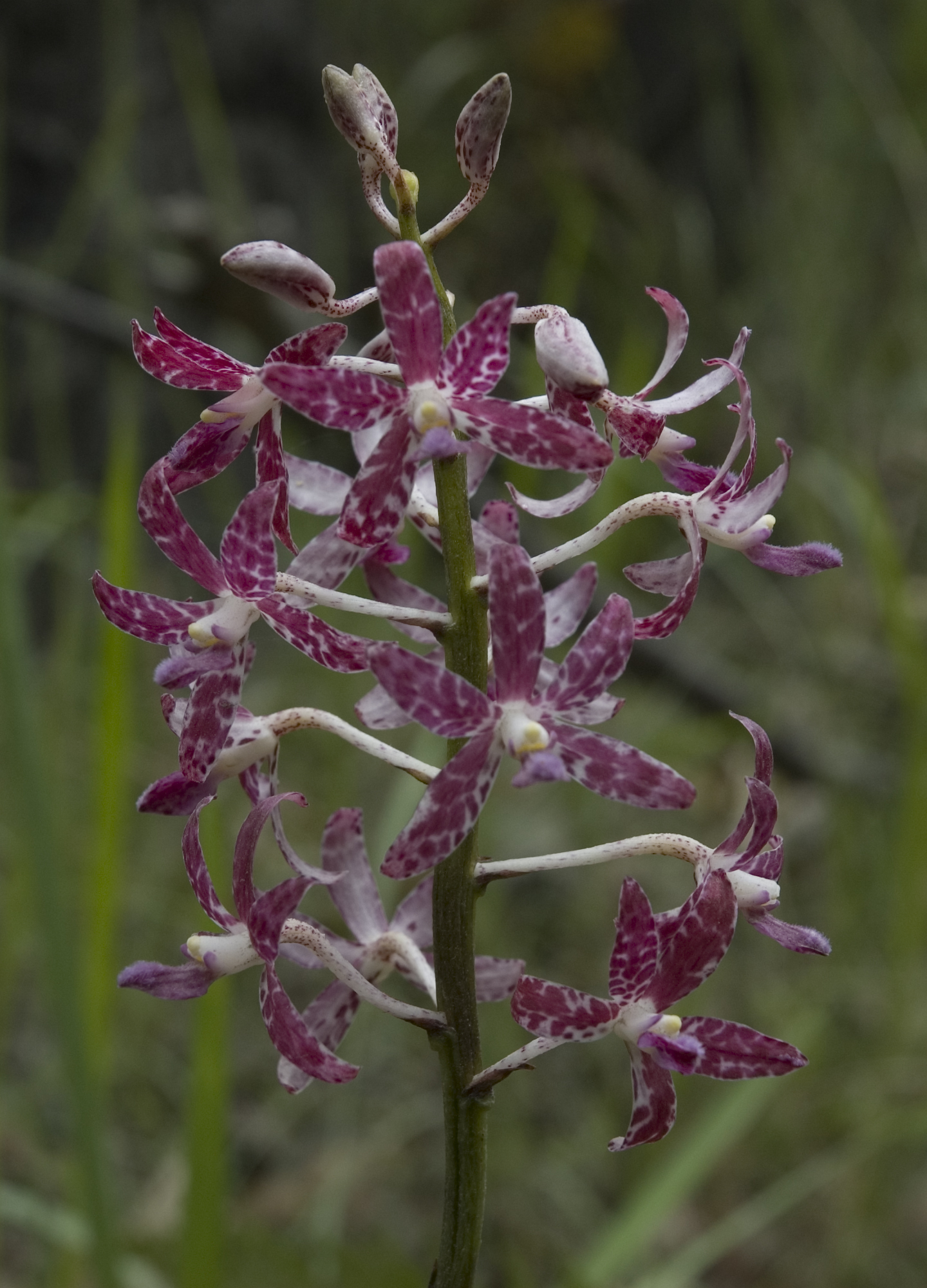 Image of hyacinth orchids