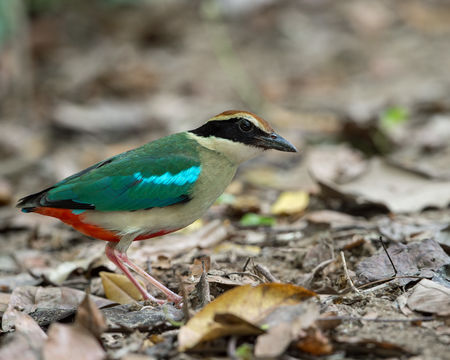 Image of Fairy Pitta