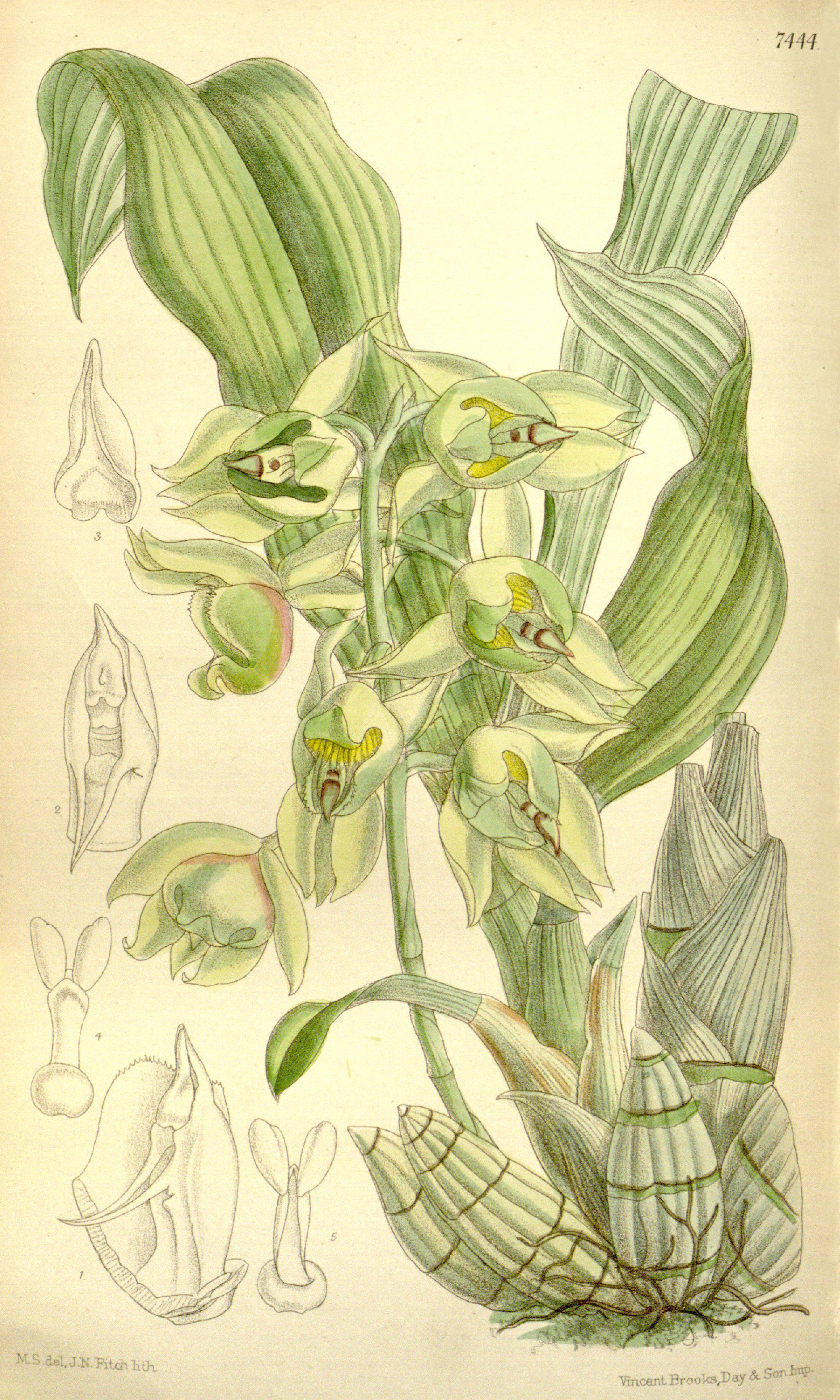 Image of <i>Catasetum lemosii</i> Rolfe