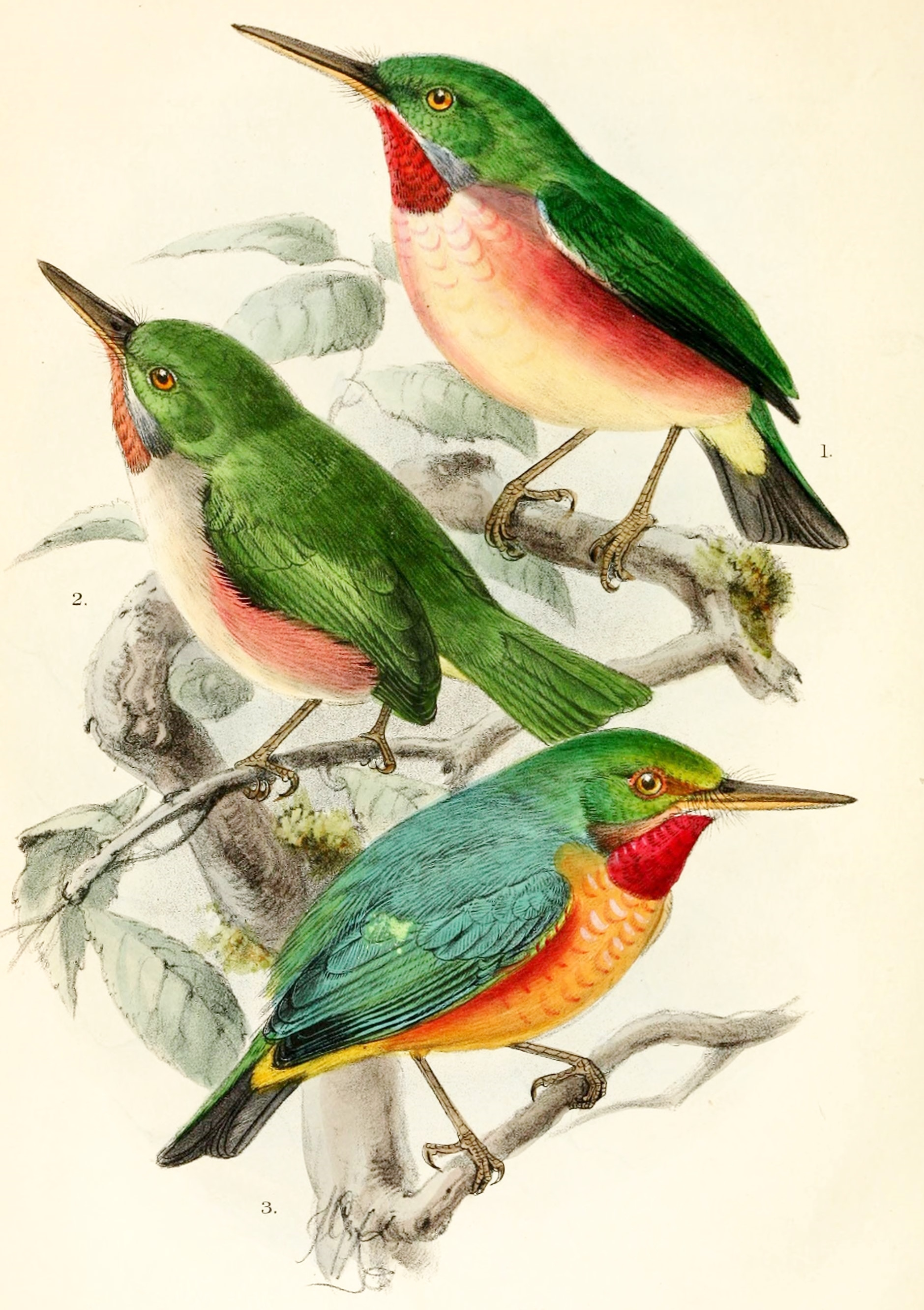 Image of Broad-billed Tody