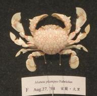 Image of <i>Matuta planipes</i> Fabricius 1798