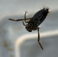 Image of Notonecta irrorata