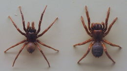 Image of Southern Tree Funnel-web Spider