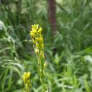 Image of small flowered winter-cress