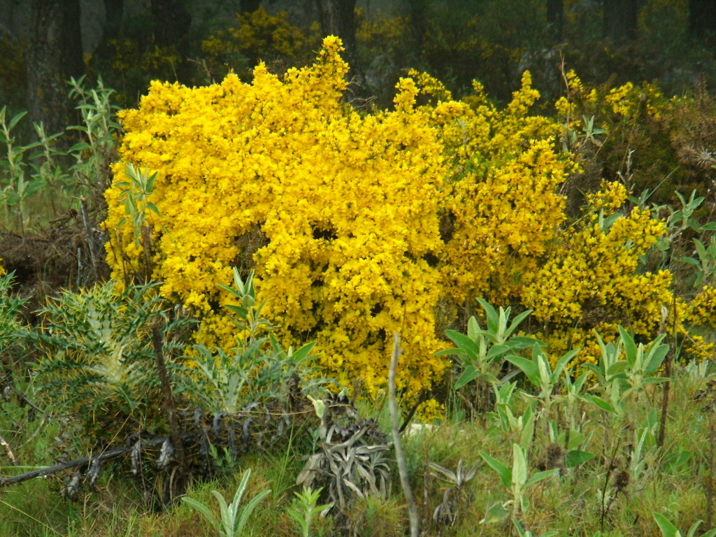 Image of Spiny Broom
