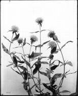 Image of <i>Monardella lanceolata</i>