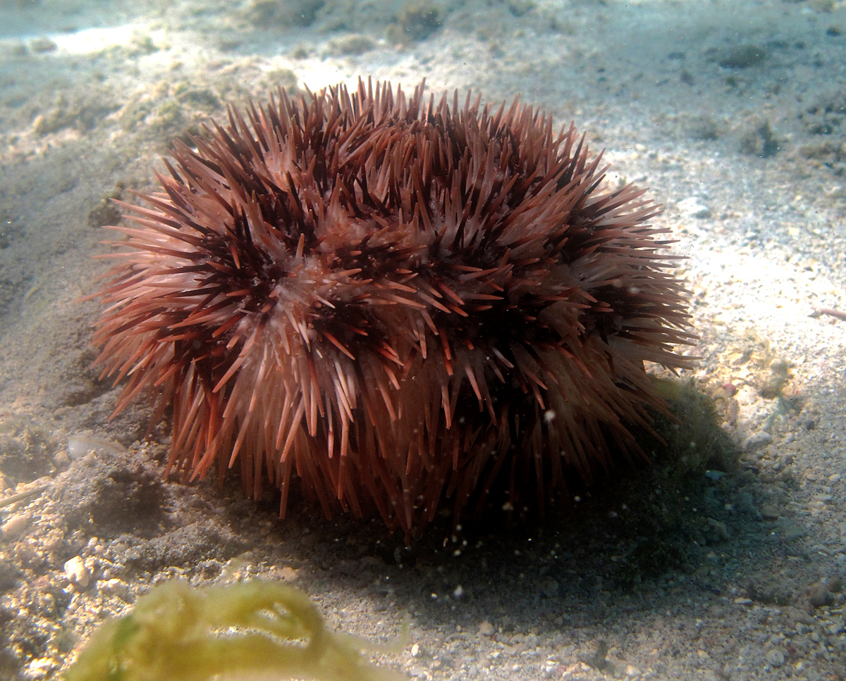 Image of Toxopneustidae