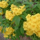 Image of Yellow bells