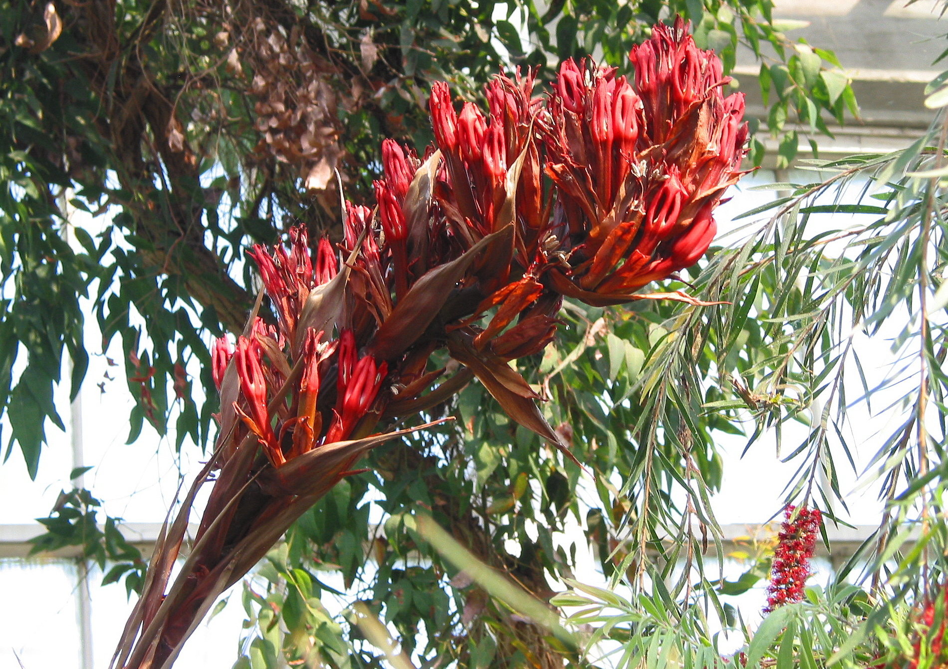 Image of giant spear lily