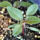 Image of Powell's amaranth