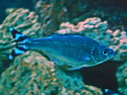 Image of Barred flagtail