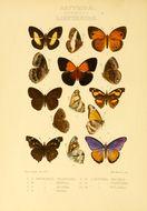 Image of <i>Libythea ancoata</i> Grose-Smith 1891