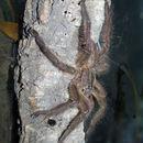 Image of tarantulas