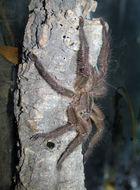 Image of Fringed Ornamental Tarantula