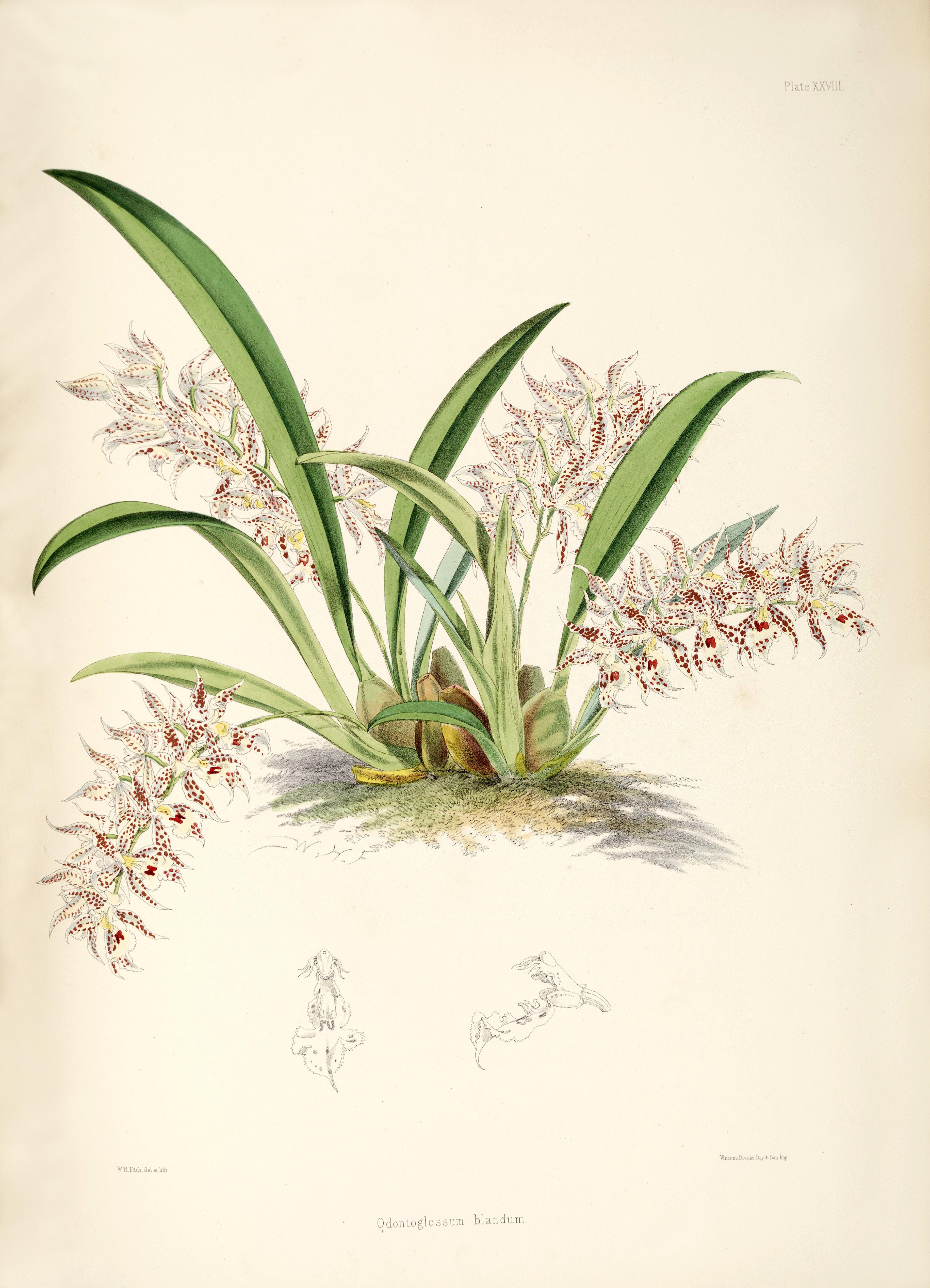 Image of <i>Odontoglossum blandum</i>