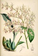 Image of <i>Odontoglossum gloriosum</i>