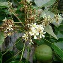 Image of Candlenut