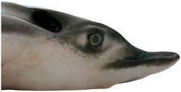 Image of bonnet rays