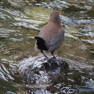 Image of Brown Dipper