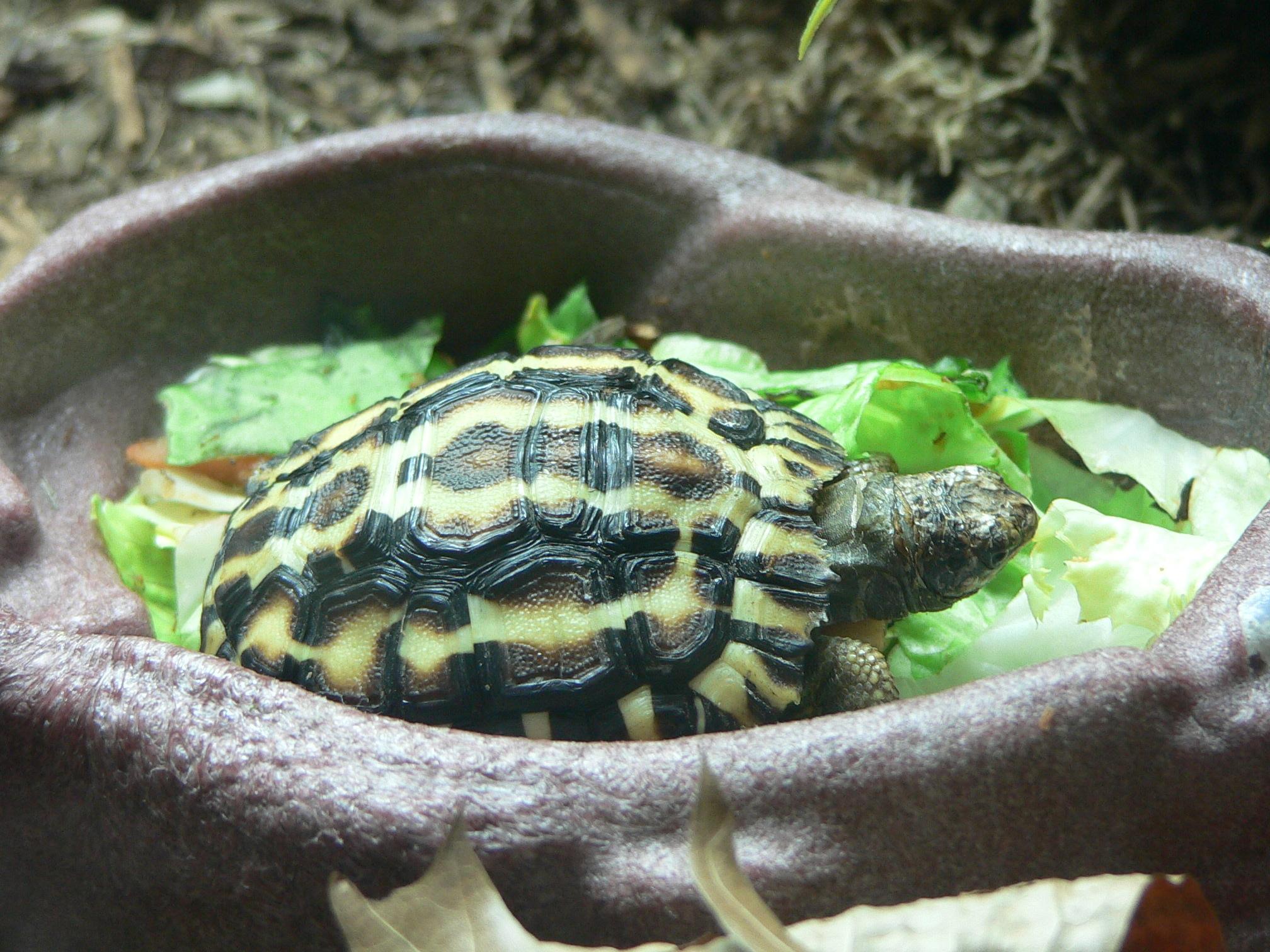 Image of Flat-backed Spider Tortoise