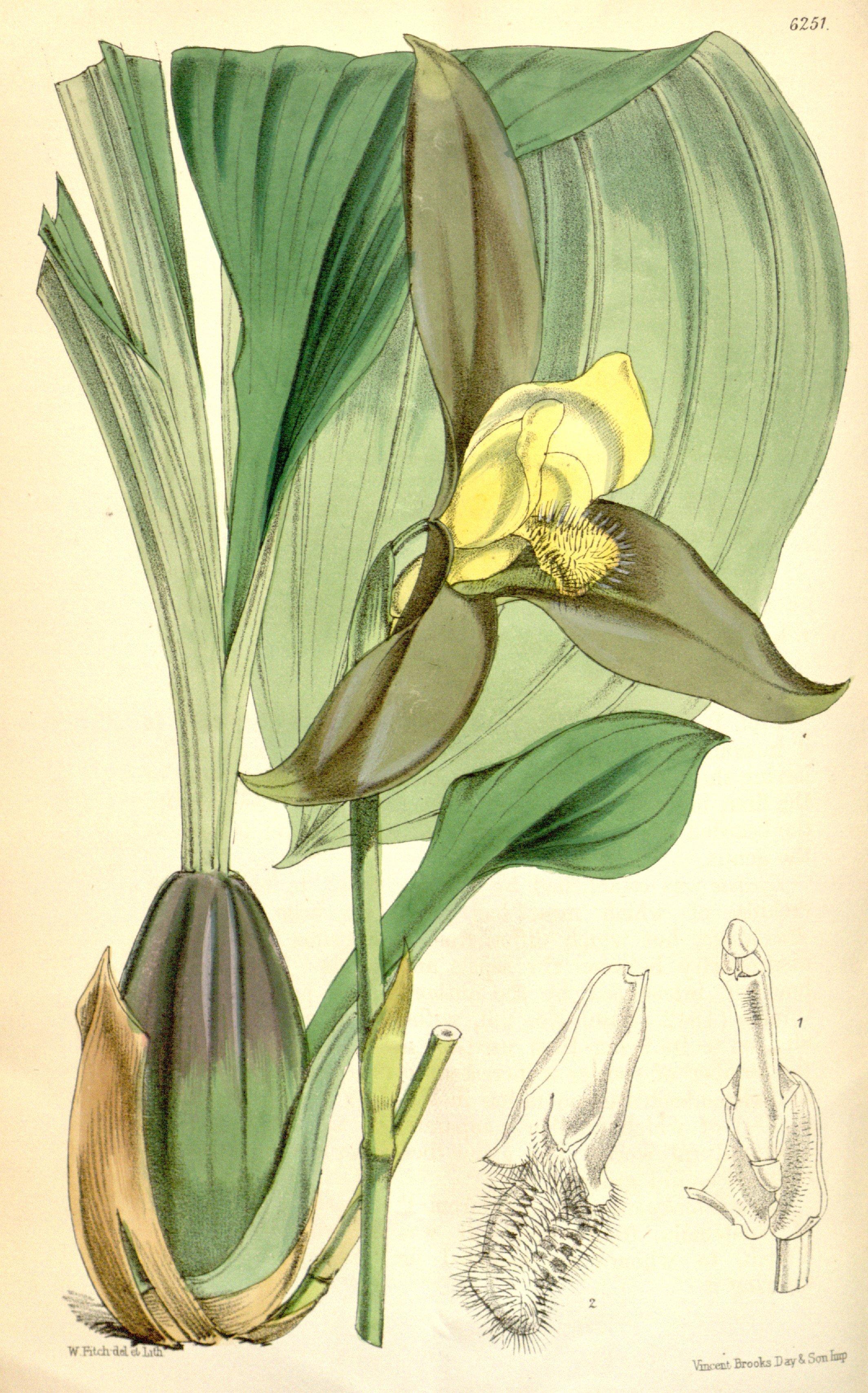 Image of <i>Lycaste lasioglossa</i> Rchb. fil.