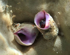 Image of purple coral snail