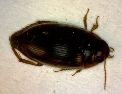 Image of <i>Copelatus glyphicus</i> (Say 1823)