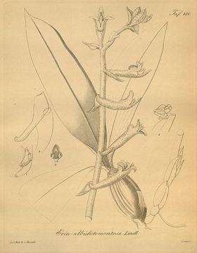 Image of <i>Eria lasiopetala</i> (Willd.) Ormerod