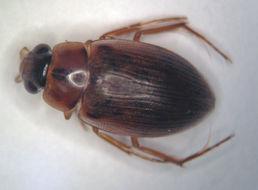 Image of <i><i>Berosus</i></i> (Berosus) <i>infuscatus</i> Le Conte & J. L. 1855