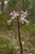 Image of Spotted hyacinth-orchid