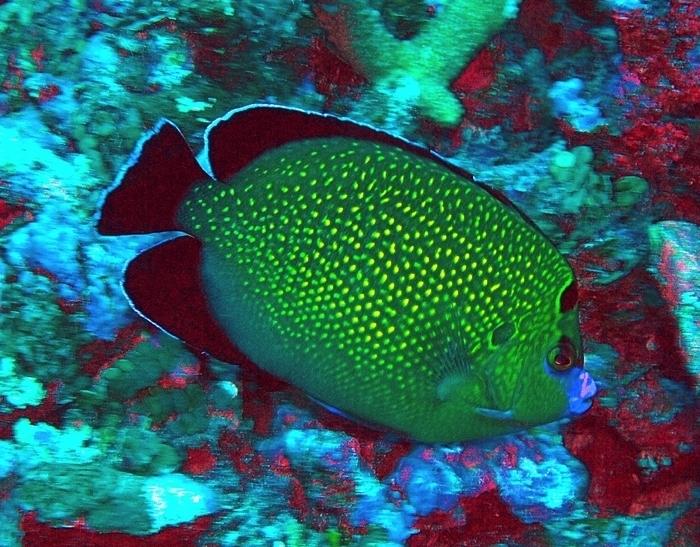 Image of Apolemichthys