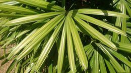 Image of <i>Licuala ferruginea</i> Becc.