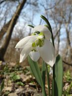 Image of giant snowdrop