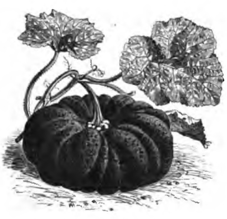 Image of winter squash