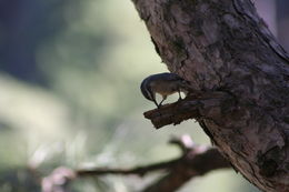Image of Corsican nuthatch