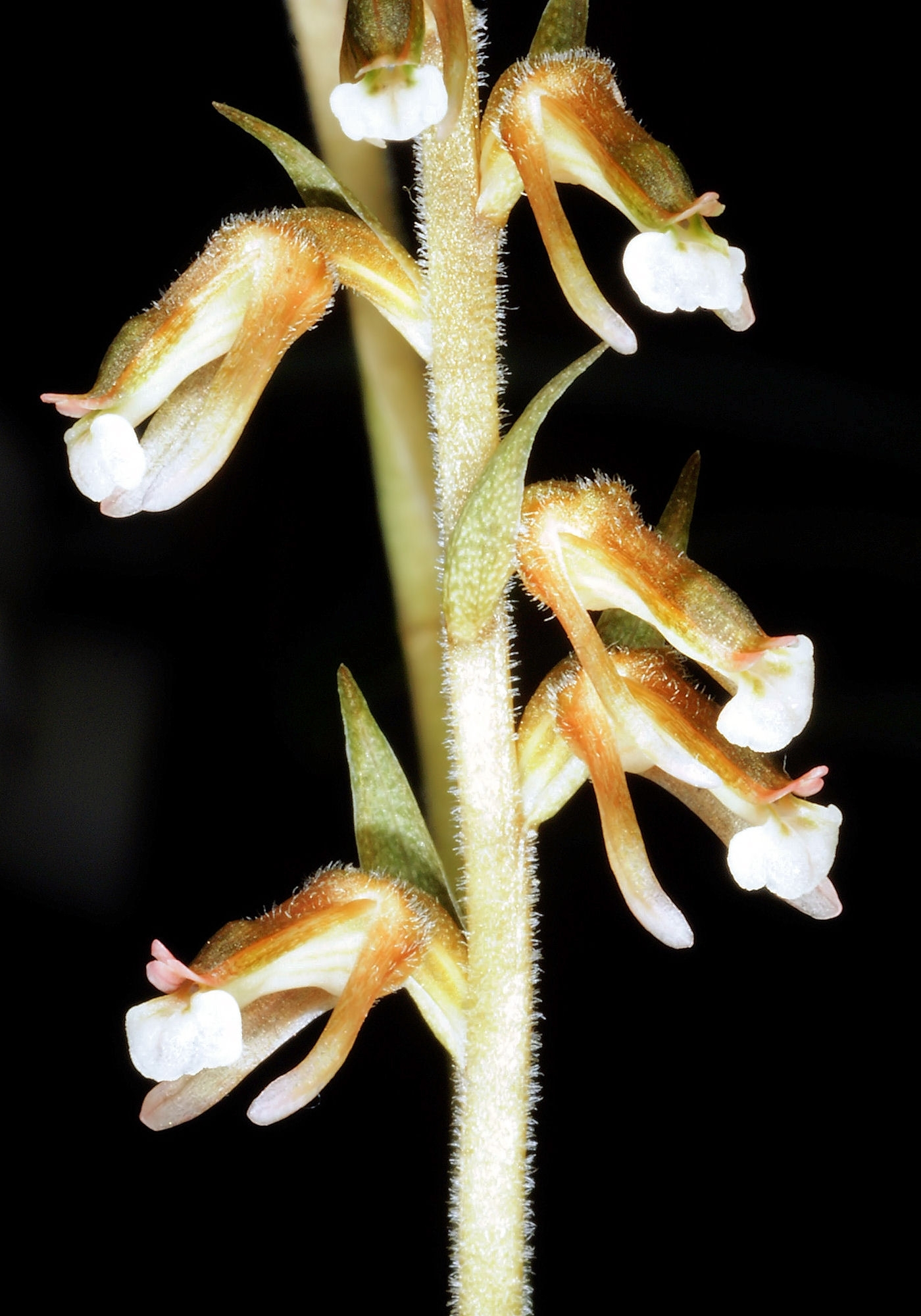 Image of ladies'-tresses