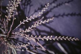 Image of <i>Campylocentrum fasciola</i> (Lindl.) Cogn.