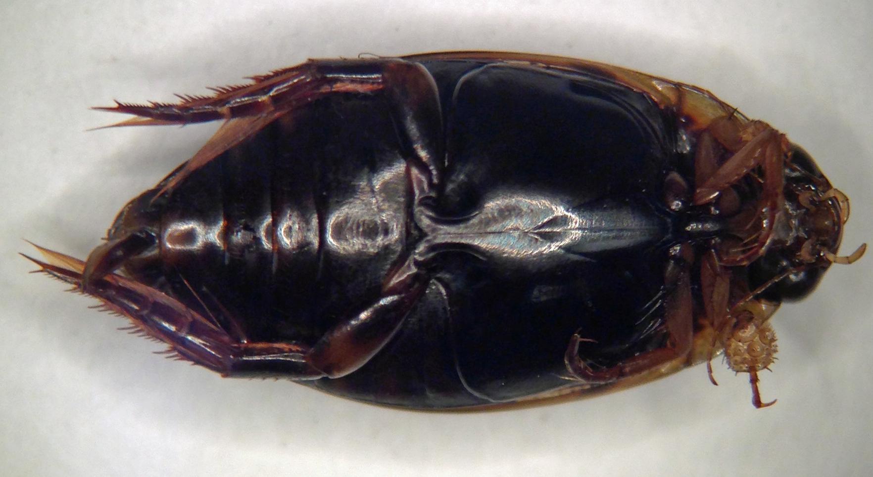 Image of <i>Thermonectus basillaris</i> (Harris 1829)