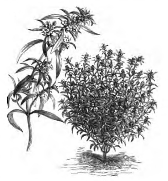 Image of summer savory