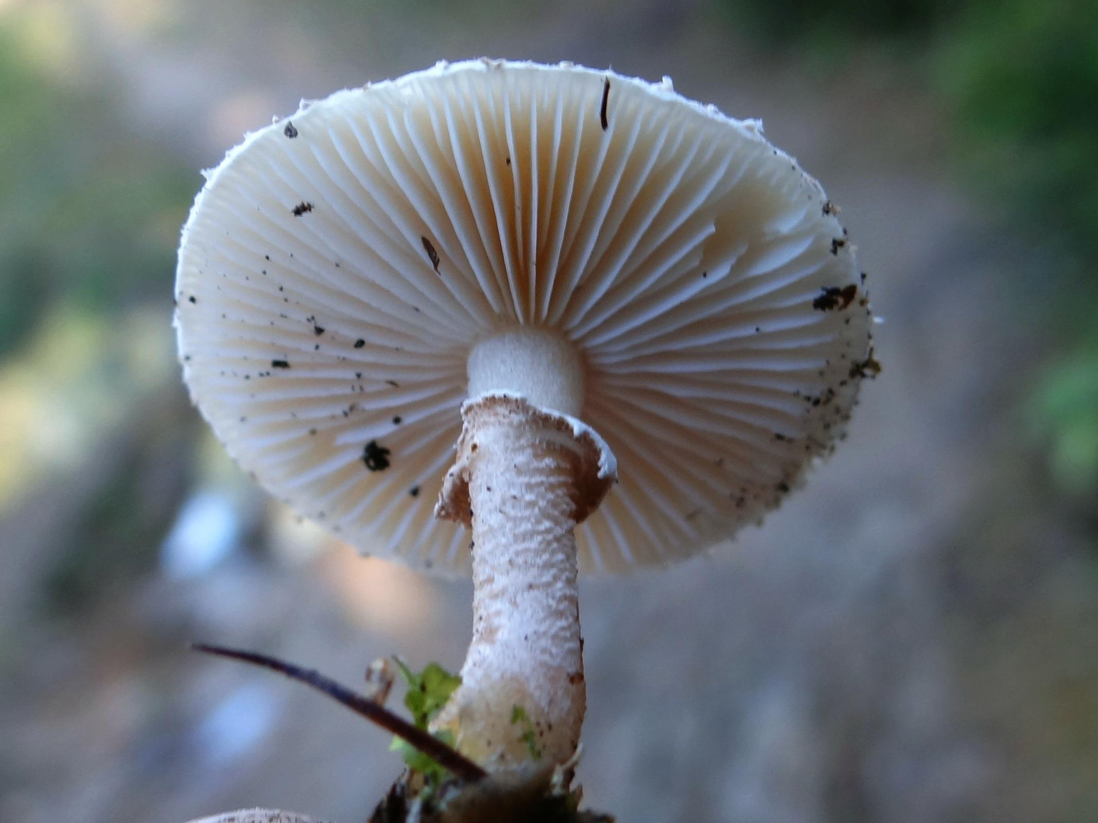 Image of <i>Cystoderma carcharias</i> (Pers.) Fayod 1889
