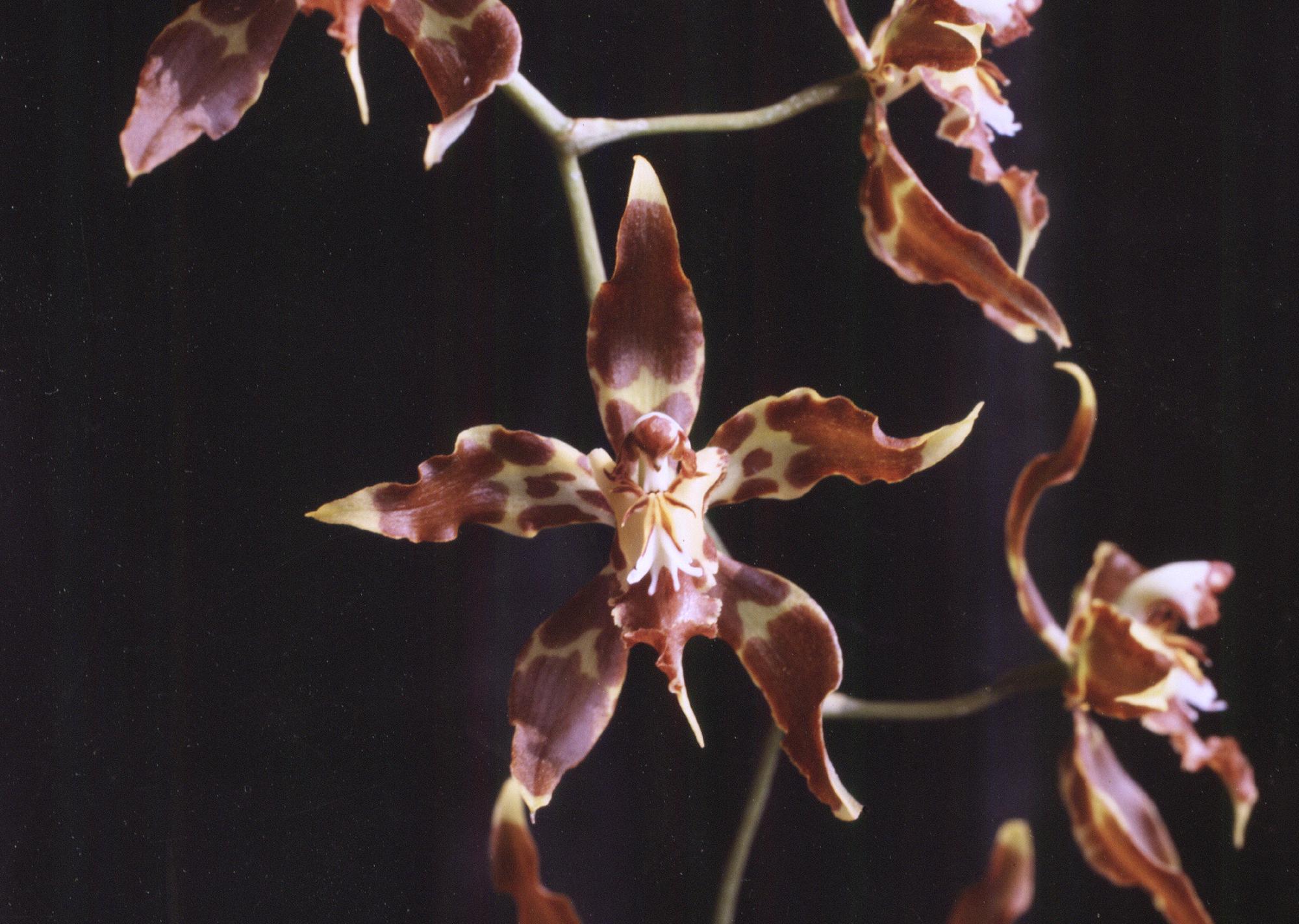 Image of odontoglossum