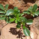 صورة <i>Pittosporum viridiflorum</i> Sims