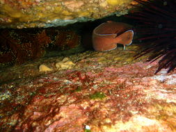 Image of rock cod