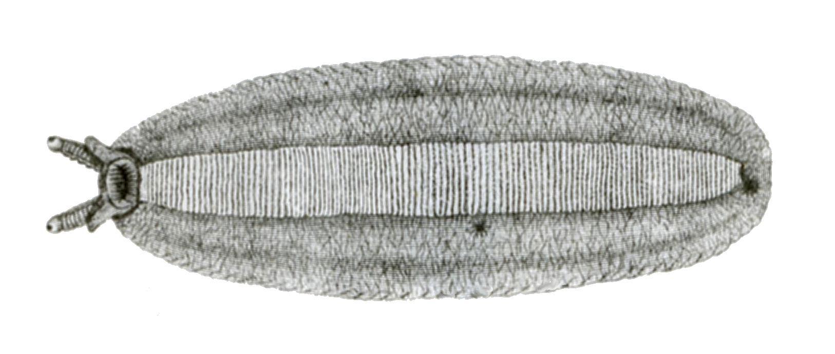 Image of <i>Leidyula floridana</i>