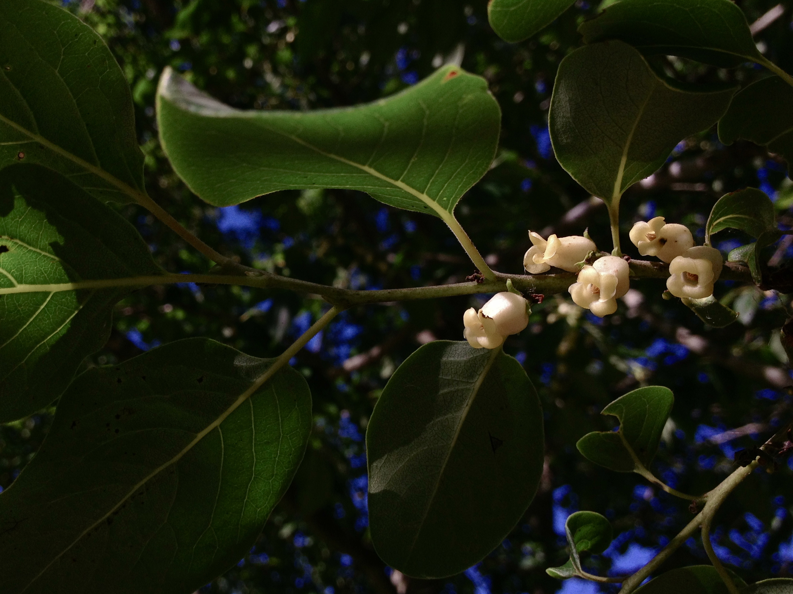 Image of common persimmon